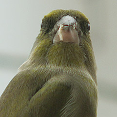 Grünfinken am Vogelhaus