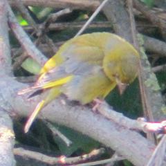 Etliche badende und ein sterbender(?) Grünfink