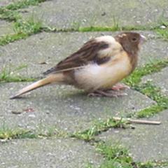 Grünfinkenjunges (?) im Hinterhof