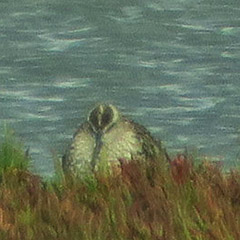 Nordseeküste – Tag 1: Regenbrachvogel, Großer Brachvogel und Löffler