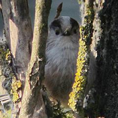 Schwanzmeisen beim Nestbau im Ostfriedhof