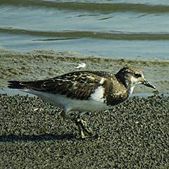 Nordseeküste – Tag 5: Steinwälzer und Säbelschnäbler im Katinger Watt