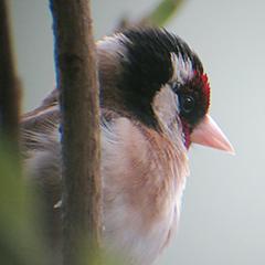 Der Vogel mit dem roten Gesicht – der Stieglitz