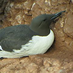 Helgoland – Tag 2 vormittags: Trottellumme, Tordalk und Eissturmvogel