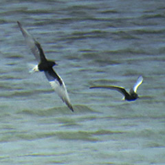 Neusiedler See – Tag 7 nachmittags: Weißflügel-Seeschwalbe, Weißbart-Seeschwalbe, Kiebitzküken